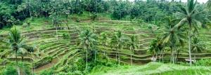 Bali Rice Paddie 1 (1280x457)
